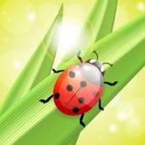 Ladybug 0n a blade of grass Stock Image