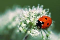 Ladybug na flor fotografia de stock