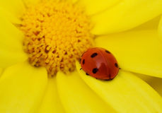 Ladybug na flor amarela Foto de Stock Royalty Free