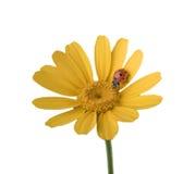 Ladybug na flor amarela Fotografia de Stock Royalty Free