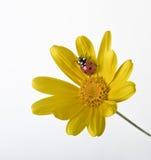 Ladybug na flor amarela Imagem de Stock