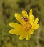 Ladybug na flor amarela Fotos de Stock