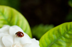 Ladybug na flor branca Imagens de Stock Royalty Free