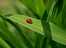 Ladybug na folha Fotografia de Stock
