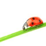 Ladybug na folha Imagens de Stock Royalty Free