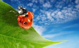 Ladybug na folha verde fotos de stock royalty free