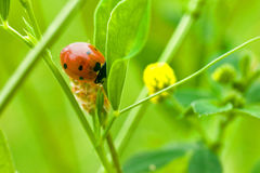 Ladybug na folha verde fotos de stock royalty free