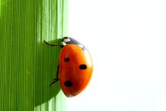 Ladybug na grama Fotografia de Stock Royalty Free