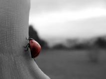 Ladybug na mão Fotos de Stock