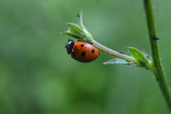 Ladybug in natural environment Stock Image