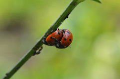 Ladybug in natural environment Royalty Free Stock Images