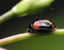 Ladybug negro. Fotos de archivo