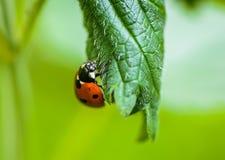 Ladybug. On a nettle leaf Stock Images