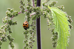 Ladybug on nettle stock photos