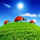 Ladybug no campo do dente-de-leão Foto de Stock Royalty Free