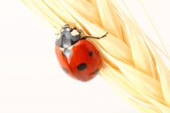 Ladybug no trigo Fotografia de Stock