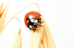 Ladybug no trigo Foto de Stock Royalty Free
