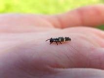 Ladybug nymph Royalty Free Stock Image