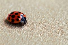 Ladybug o mariquita rojo Fotos de archivo libres de regalías