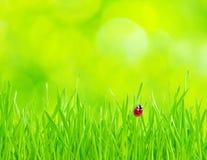 Free Ladybug On Grass Royalty Free Stock Photo - 12888655