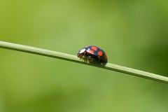Ladybug On Grass Stem Stock Image