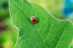 Free Ladybug On Green Leaf Royalty Free Stock Image - 70838666