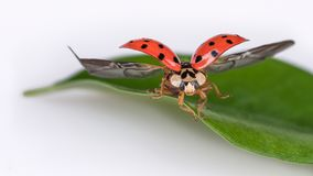 Ladybug On Natural Leaf When Take Off. Harmonia Axyridis Stock Photo