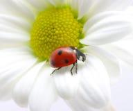 Ladybug On Petal Royalty Free Stock Photo