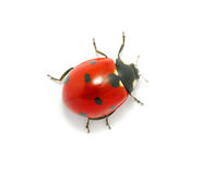 Ladybug On The White Stock Image