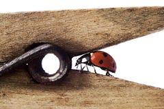 Free Ladybug On Wodden Clothes-peg Royalty Free Stock Photos - 2963998