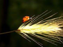 Ladybug. One red ladybug moves on the grass Stock Photography
