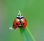 Ladybug opening wings Stock Images