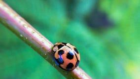 Ladybug. A orange Ladybug on the leaf Stock Photography