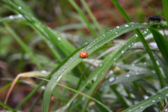 Ladybug orange, ten point. Sitting on the meadow grass. On the body the drops of rain. Latin  Coccinellidae Stock Photos