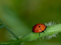 Ladybug pausado Fotografía de archivo libre de regalías