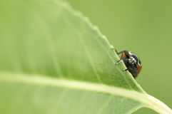 Ladybug peeking from behind a leaf.  Royalty Free Stock Photo