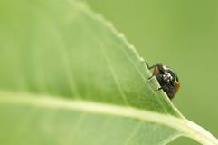 Ladybug peeking from behind a leaf Royalty Free Stock Photo