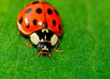 Ladybug Royalty Free Stock Photo