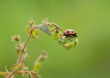 Ladybug perched on top of the grass. Royalty Free Stock Image