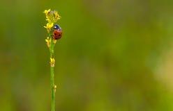 Ladybug Royalty Free Stock Image