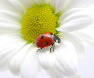 Ladybug on petal Royalty Free Stock Photo