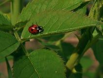 Ladybug. Photo ladybugs made on the Caucasian Mineral Waters Stock Image