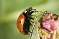 Ladybug picking up an aphid. Closeup of ladybug picking up an aphid Royalty Free Stock Image