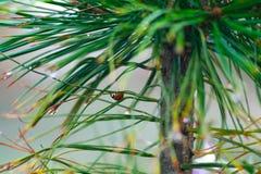 Ladybug on the pine branch Royalty Free Stock Photo