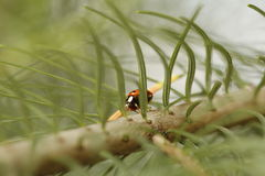 Ladybug in a pine branch Royalty Free Stock Images