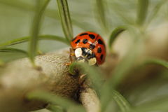 Ladybug in a pine branch Stock Images