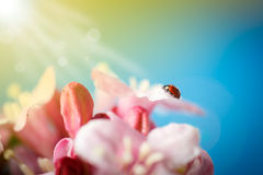Ladybug on pink beautiful flowers Royalty Free Stock Image