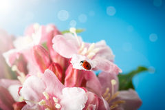 Ladybug on pink beautiful flowers Stock Photo