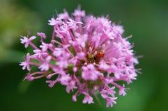 Ladybug in pink flower Stock Photo
