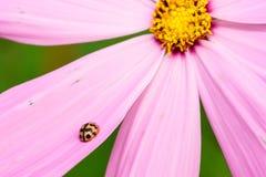 Ladybug on pink flower Stock Photo